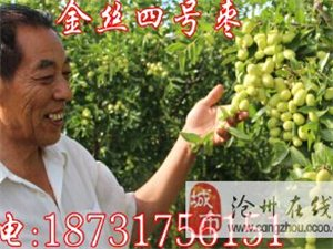 出售金丝四号枣树苗