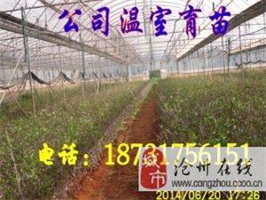 出售金丝四号枣苗200万株