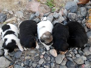 自家母狗新生5只小狗