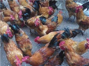 长年出售散养公鸡