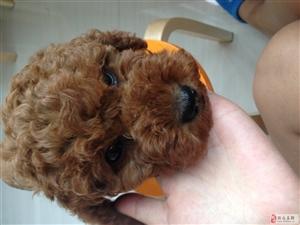 7月20日我的泰迪狗在招�h�G了,好心人�臀艺艺野�