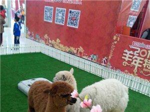出租 观赏性动物 羊驼