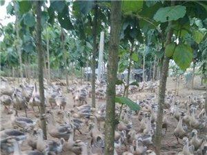 揭西縣大溪鎮同盛鵝雞養殖場 歡迎咨詢
