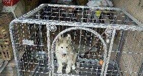 交城低价出售阿拉斯加雪橇犬800元低价出售