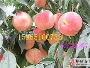 最新晚熟桃品种蓬仙17桃苗永莲蜜桃7号桃苗