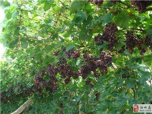 汝州市城北十里鋪  孫獅子葡萄園葡萄大豐收