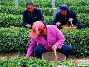 大力发展茶叶种植 农民增收、农业增效