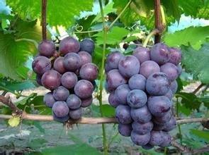 优质巨峰葡萄批发销售