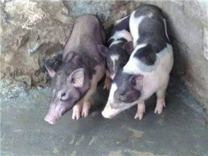 原生态放养五脚猪出售