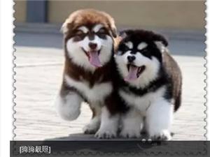 ��N巨型阿拉斯加幼犬便宜�u