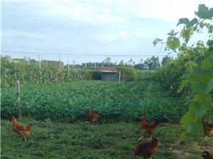 葡萄园散养鸡
