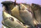 大量批發水庫鯽魚、草魚、白鰱
