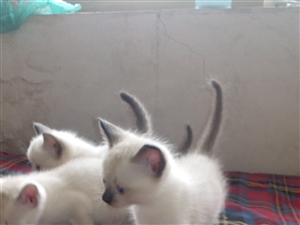 萌萌哒的小猫出售哦