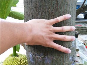 出售樹菠蘿一棵(看圖片)