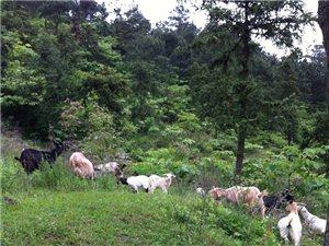 销售原生态山羊肉