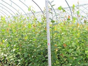 销售蓝莓苗,蓝苗果,蓝莓饮品,蓝莓干果,蓝莓?#39057;?>                                 </a>                             </div>                             <div class=