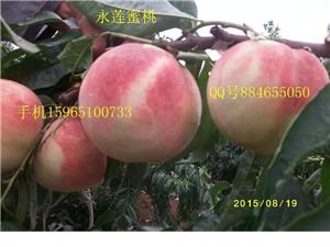 山东永莲蜜桃1号桃苗早熟特大鲁红618桃苗产地