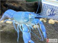 龙虾换鱼缸