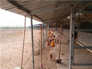 新建千头黄牛养殖场低价转让