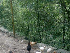 农家养殖纯天然土鸡、土鸡蛋