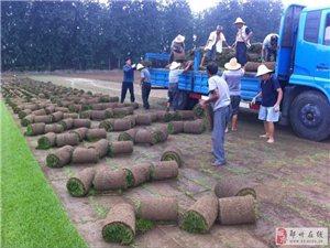 鄭州鋪草坪,鄭州草坪批發銷售,質優價低