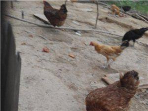 西安市临潼区周边自家散养土鸡,土鸡蛋出售