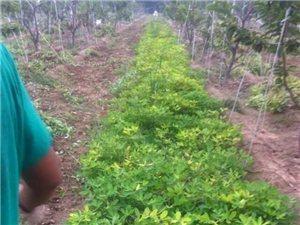 滨州果蔬采摘园无公害花生团购