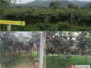 自產【徐香】獼猴桃 綠果奇異果 新鮮水果 現摘現發