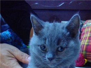 出售自家繁育小蓝猫60天三母一公