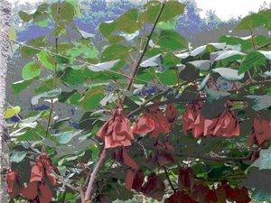 福隆源高端獼猴桃出售