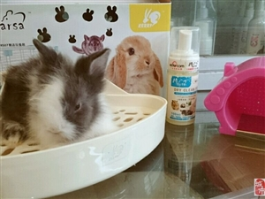 出售自己繁殖道奇垂耳兔,只售一只,喜�g的朋友可以微