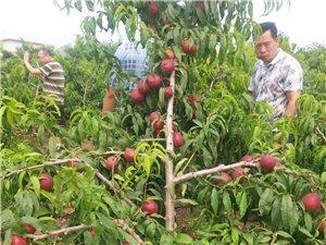 果树苗、桃树种苗、鹰嘴桃种苗销售