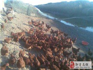 即墨市金口镇散养大红公鸡出售!纯天然,良心养殖.