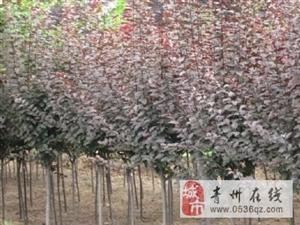 低价转让25亩绿化苗木,设施齐全。