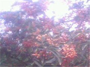 優質大紅袍樹苗 保證品種(黃蓋)