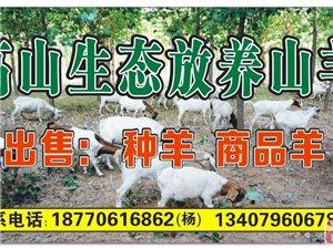 出售純放養種山羊和肉山羊