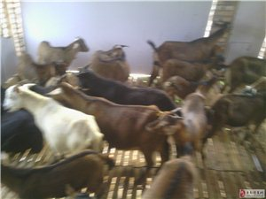 供应黑、黄山羊种羊和肉羊