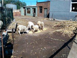 出售自家养的羊