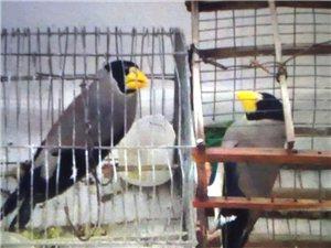 梧桐鳥轉賣