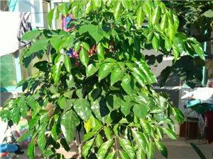 招財樹 綠寶幸福樹 室內客廳大型盆景綠植 盆栽花卉