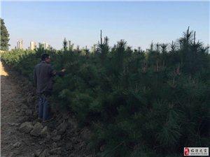 临潼现有油松1.9至2.5米15万棵 出售