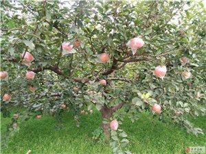 新鲜脆甜富士苹果大量批发