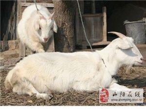 出售山羊,价格优惠