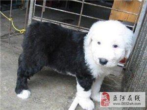 出售纯种古代牧羊犬,上门可见父母