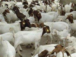 一群羊出售