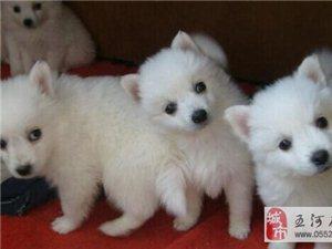 超可爱的银狐幼犬出售啦