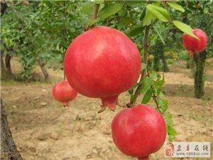 贵州布依文化生态产业有限公司的红如意软籽甜石榴红了