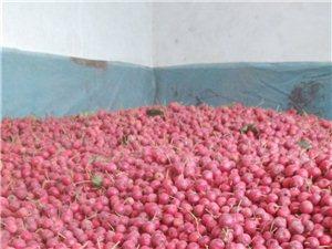 农家自产山楂,可制作山楂片,山楂酱,糖雪球及糖葫芦