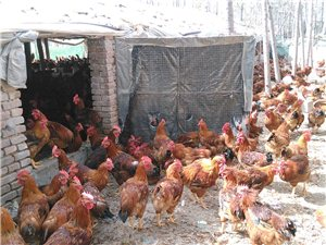 散养大红公鸡出售