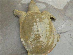 黃河三寶(鯉魚、甲魚、大閘蟹)歡迎廣大朋友預定